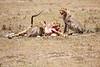 Cheetah_Feast_Mara_Kenya_Asilia_20150134