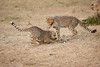 Cheetah_Cubs_Mara_Kenya_Asilia_20150163