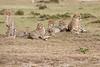 Cheetah_Family_Portraits_Mara_Kenya_Asilia_20150009