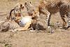 Cheetah_Feast_Mara_Kenya_Asilia_20150087