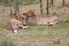 Cheetah_Mara_Asilia_Kenya0026