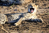 Cheetah_Family_Phinda_2016_0013