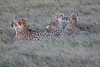 Cheetah_Family_Phinda_2016_0090
