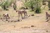 Cheetah_Feast_Mara_Kenya_Asilia_20150038
