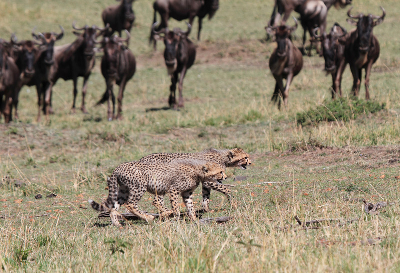 Cheetah Cubs with Wildebeest Mara Topi House