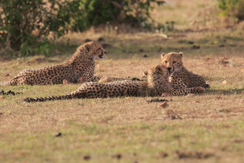 Cheetah_Cubs_Mara_Kenya_Asilia_20150280