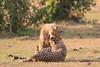 Cheetah_Cubs_Mara_Kenya_Asilia_20150218