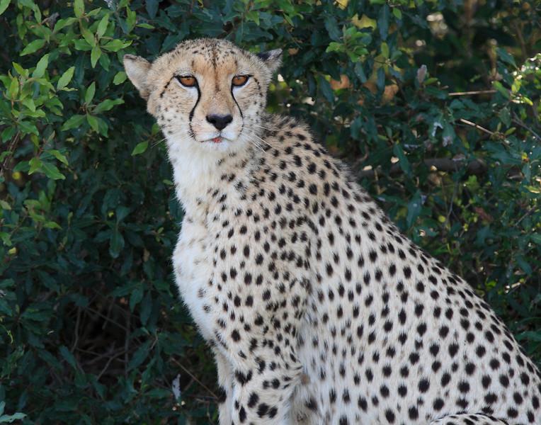 Cheetah Phinda South Africa-33