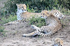 Cheetah_Family_Phinda_2016_0002