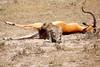 Cheetah_Feast_Mara_Kenya_Asilia_20150035
