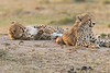 Cheetah_Cubs_Mara_Kenya_Asilia_20150259