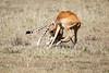 Cheetah_Feast_Mara_Kenya_Asilia_20150139