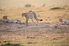 Cheetah_Cubs_Mara_Kenya_Asilia_20150115