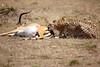 Cheetah_Feast_Mara_Kenya_Asilia_20150202