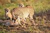 Cheetah_Adventure_Phinda_2016_0056