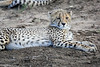 Cheetah_Family_Phinda_2016_0003