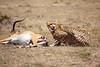 Cheetah_Feast_Mara_Kenya_Asilia_20150203