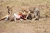 Cheetah_Feast_Mara_Kenya_Asilia_20150126