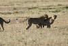 Cheetah_Cubs_Mara_Kenya_Asilia_20150265