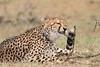 Cheetah_Mara_Asilia_Kenya0048