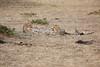 Cheetah_Cubs_Mara_Kenya_Asilia_20150137