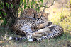 Cheetah_Cubs_Mara_Kenya_Asilia_20150079