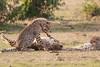 Cheetah_Cubs_Mara_Kenya_Asilia_20150206