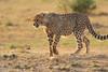 Cheetah_Cubs_Mara_Kenya_Asilia_20150247