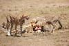 Cheetah_Feast_Mara_Kenya_Asilia_20150114