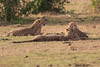 Cheetah_Cubs_Mara_Kenya_Asilia_20150277