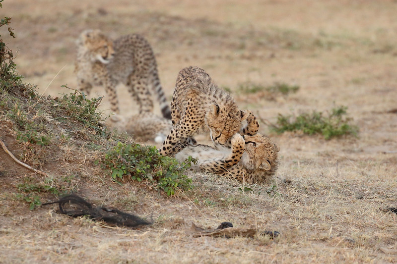 Cheetah_Cubs_Mara_Kenya_Asilia_20150146