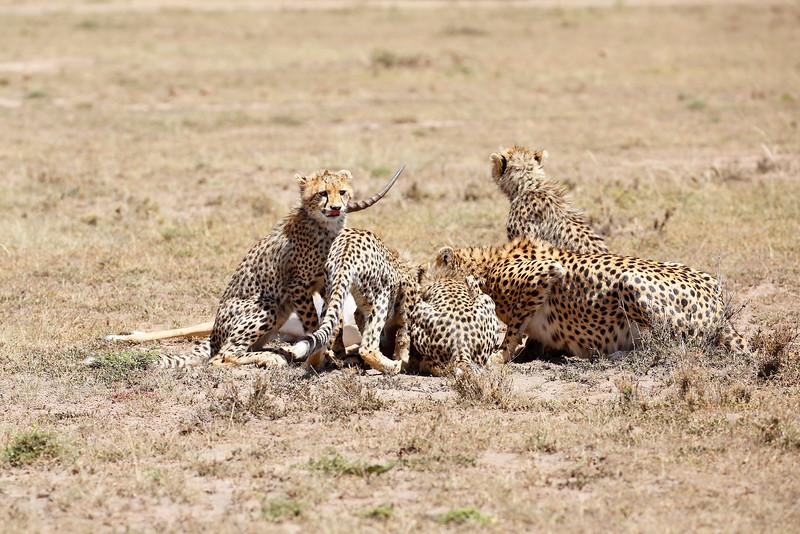 Cheetah_Feast_Mara_Kenya_Asilia_20150217