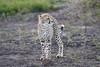 Cheetah_Family_Phinda_2016_0128