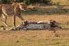 Cheetah_Cubs_Mara_Kenya_Asilia_20150183
