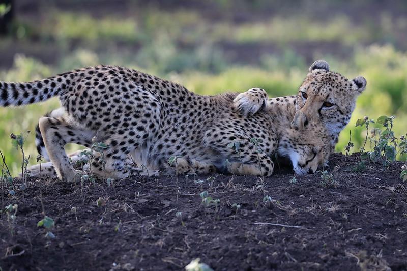 Cheetah_Family_Phinda_2016_0113