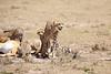 Cheetah_Feast_Mara_Kenya_Asilia_20150227