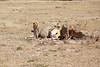 Cheetah_Feast_Mara_Kenya_Asilia_20150215