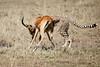 Cheetah_Feast_Mara_Kenya_Asilia_20150141