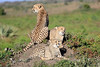 Cheetah_Family_Phinda_2016_0141