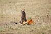Cheetah_Feast_Mara_Kenya_Asilia_20150186