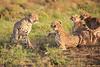 Cheetah_Adventure_Phinda_2016_0054