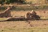 Cheetah_Cubs_Mara_Kenya_Asilia_20150273