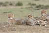 Cheetah_Family_Portraits_Mara_Kenya_Asilia_20150034