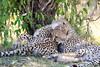 Cheetah_Cubs_Mara_Kenya_Asilia_20150070