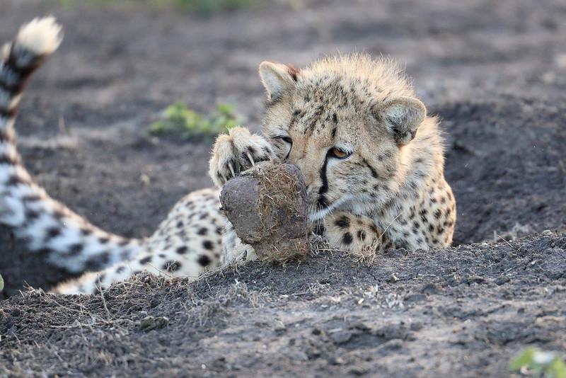 Young_Cheetah_Playing_With_Ball_Phinda_2016_0076