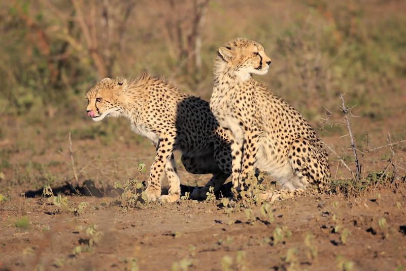 Cheetah_Family_Phinda_2016_0038