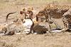 Cheetah_Feast_Mara_Kenya_Asilia_20150080