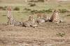 Cheetah_Family_Portraits_Mara_Kenya_Asilia_20150014