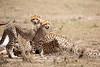 Cheetah_Feast_Mara_Kenya_Asilia_20150223