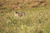 Cheetah_Adventure_Phinda_2016_0004